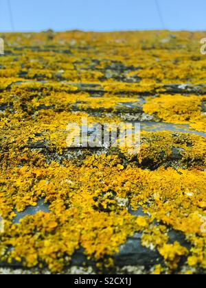 Lichen on shed roof - Stock Image