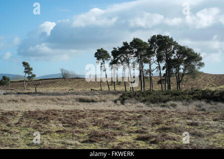 Trees on the Begwns, Wales, UK. National Trust, Colour, Horizontal - Stock Image
