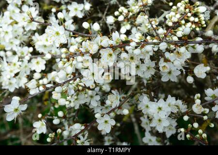 A mass of white black thorn flowers blossoms blossom Prunus spinosa - Stock Image