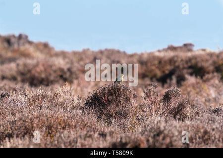 Skylark (Alauda arvensis) Purched on Heather bush, Hay Bluff Hay on Wye Powys Wales UK. March 2019. - Stock Image