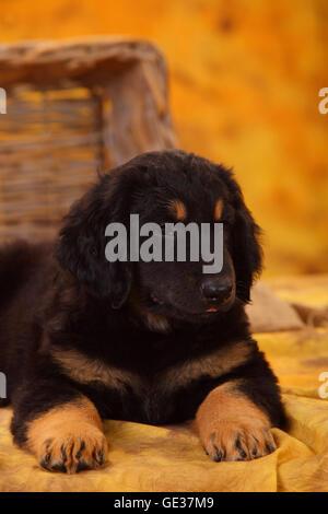 Hovawart, puppy, black-and-tan, 8 weeks|Hovawart, Welpe, schwarz-marken, 8 Wochen - Stock Image