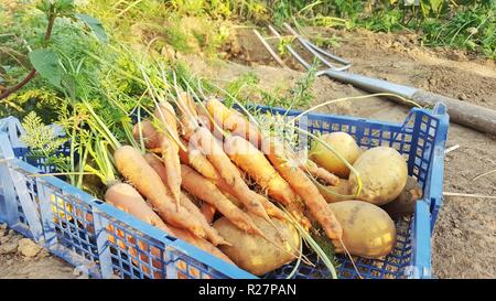 basket full of freshly harvestet carrots and potatoes standing on an acre - Stock Image