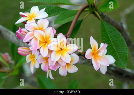 Cuba, Havana. Raindrops on Plumeria blossoms. Credit as: Wendy Kaveney / Jaynes Gallery / DanitaDelimont.com - Stock Image