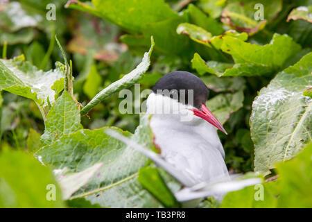 An Arctic Tern, Sterna paradisaea nesting on the Farne Islands, Northumberland, UK. - Stock Image