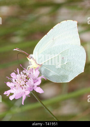 Close-up of a butterfly on a flower, Majorca, Spain - Stock Image