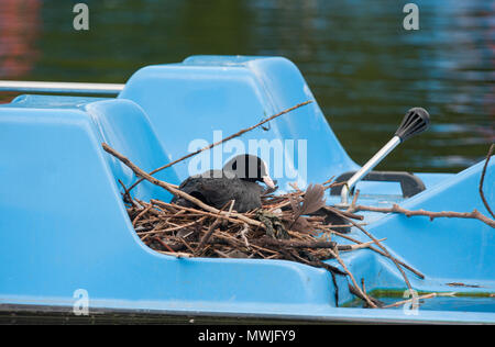 Eurasian coot, (Fulica atra), also known as the Common Coot or Coot,on nest built on a pedal boat on Regents Park lake, London, United Kingdom - Stock Image
