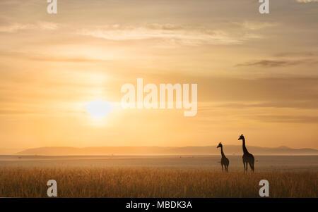 Two Maasai Giraffes, Giraffa camelopardalis, gazing out over the African plains towards the rising sun - Stock Image
