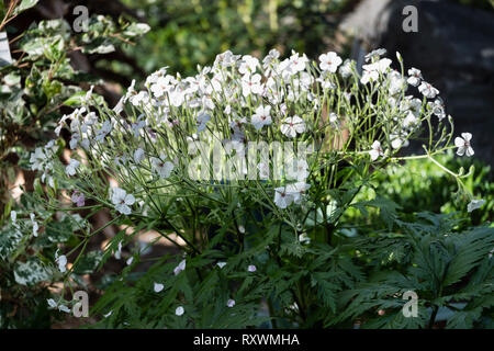 A patch of white and pink perennial Geranium flowers lit by sunlight - Stock Image
