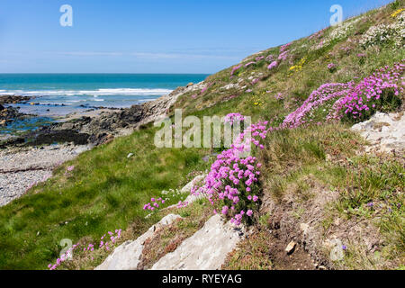 Sea Pink or Thrift (Armeria maritima) flowers growing beside the coast path around Cable Bay / Porth Crugmor, Isle of Anglesey, North Wales, UK, Brita - Stock Image