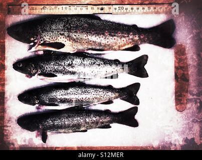 Rainbow trout - Stock Image