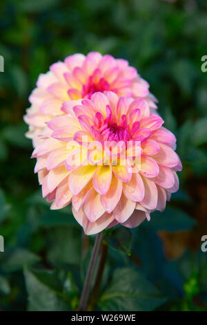 Colorful dahlia flower with morning dew drops - Stock Image
