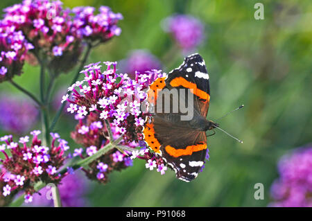 Red Admiral butterfly on a Verbena Bonariensis in a cottage garden - Stock Image