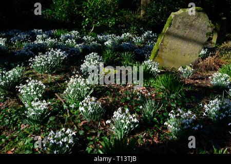 galanthus nivalis, snowdrop, snowdrops, spring, grave, graves, gravestone, gravestones, graveyard,flower, flowers, flowering, life, death, cemetery, c - Stock Image