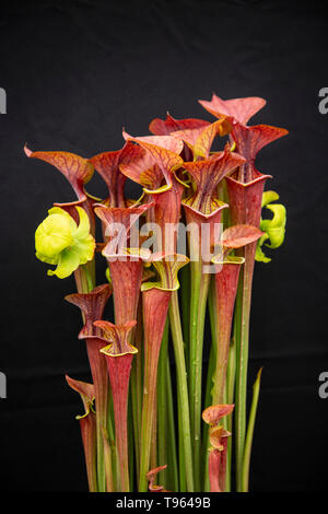 Sarracenia atropurpurea, pitcher plant, carniverous insect eating flower, - Stock Image