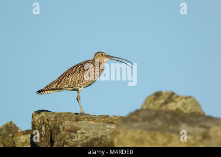 Eurasian Curlew, Latin name Numenius arquata, standing on a stone wall against blue sky, showing curve of open bill - Stock Image