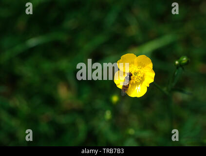 Insect on a yellow buttercup flower - Stock Image