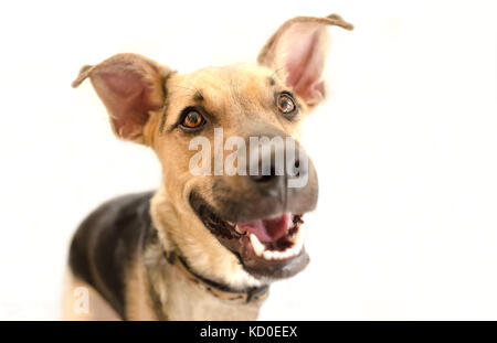 Happy dog isolated is a very excited happy looking dog with a great big smile on his face. - Stock Image