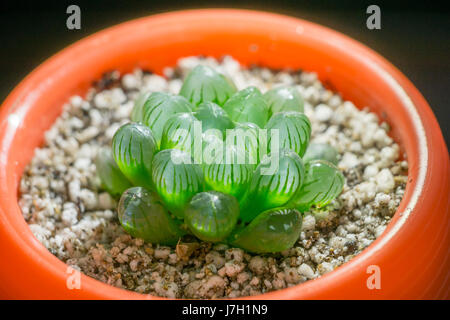 Haworthia Cooperi in a cup - Stock Image