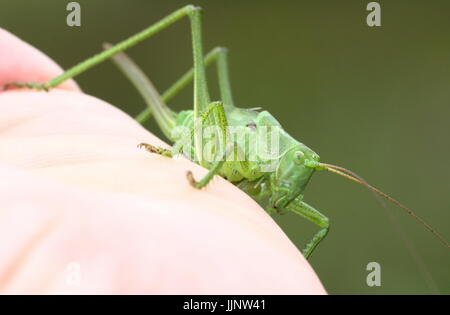 Female Upland Green Bush Cricket (Tettigonia cantans) on my hand, ovipositor showing. - Stock Image