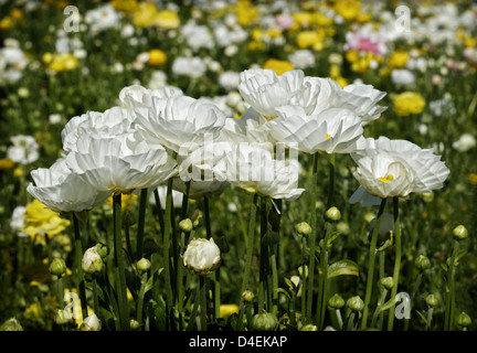 A row of white ranunculus, among a colorful field of blossoms. - Stock Image