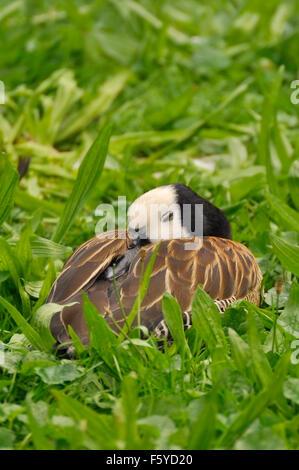 Sleeping White-faced Whistling Duck (Dendrocygna viduata) - Stock Image