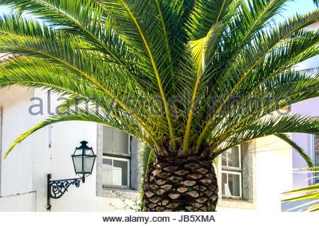 Scenic big Palm in Portugal. - Stock Image