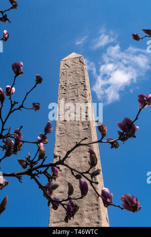 Cleopatra's Needle Obelisk is Surrounded by Magnolia Trees Blooming in Springtime, Central Park, NYC, USA - Stock Image