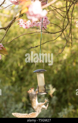 Stirlingshire, Scotland, UK. 25th Apr, 2019. a usually sure footed grey squirrel almost takes a tumble from a bird feeder hanging from a tree in a Stirlingshire garden but just manages to cling on and save itself. The long slippery hanger proved a challenge but it returned for another attempt once the feeder had been restocked. This time it was successful, and almost looked pleased with itself! Credit: Kay Roxby/Alamy Live News - Stock Image