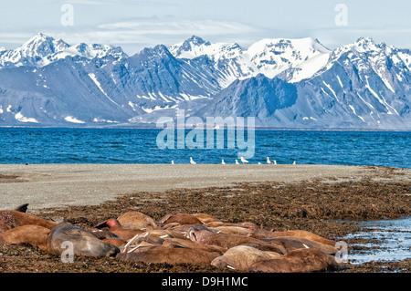 Walrus haul out, Odobenus rosmarus, Poolepynten, Svalbard Archipelago, Norway - Stock Image