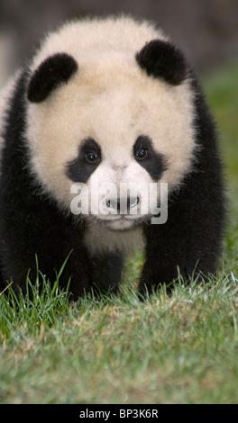 5-month old giant panda cub Wolong, China - Stock Image