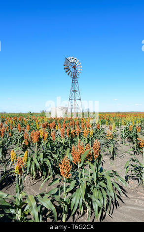 A crop of sorghum and a windvane seen along the Carnarvon Highway, Queensland Interior, QLD, Australia - Stock Image