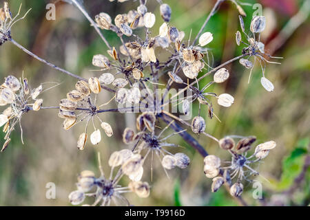 Natural abstract, dry stems of a flowering plant in winter in Hampstead Heath of London - Stock Image