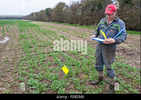 A farmer in his field of oilseed rape (canola) checking a pollen beetle trap (the yellow card) as part of a research - Stock Image