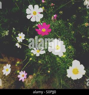 Cosmos flowers in pink and white - Stock Image