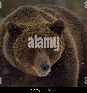 Eurasian brown bear (Ursus arctos arctos) in snow, North Finland, April. - Stock Image
