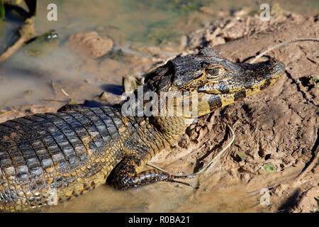 Close-up of a Yacare Caiman (Caiman yacare) Lying in Mud. Rio Claro, Pantanal, Brazil - Stock Image