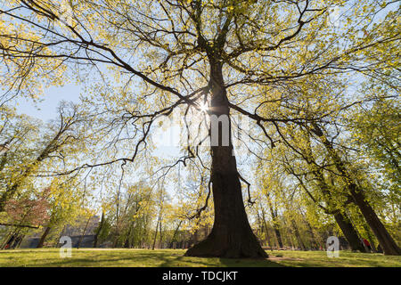 A tree in the park. A sunlight going through the leaves - Stock Image