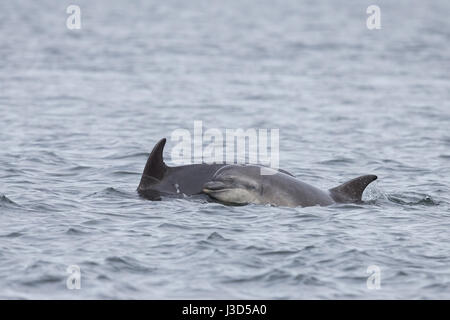 Bottlenose Dolphin mother & youngster at Chanonry Point - Stock Image