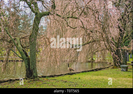 Canadian Geese at Lexington National Cemetery - Stock Image