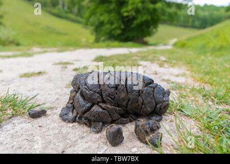 Closeup of fresh recent sheep poo (excrement, poop, droppings, shit, dung) on a public footpath in the countryside in England, UK. - Stock Image