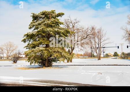 A scots pine, or Scotch pine, Pinus syvestris, growing in Wichita, Kansas, USA. - Stock Image