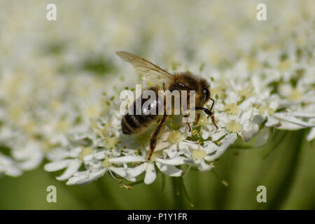 Side on view of a honey bee feeding from a common hogweed flower - Stock Image
