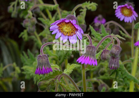 Senecio formosus is found in the Colombia and Venezuela Andes in coldly humid paramo moorland, grassland and woodland clearings between 3000-4500m. - Stock Image