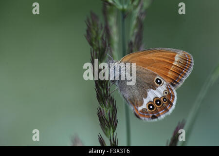 Pearly heath At rest on grass stalk Hungary June 2015 - Stock Image