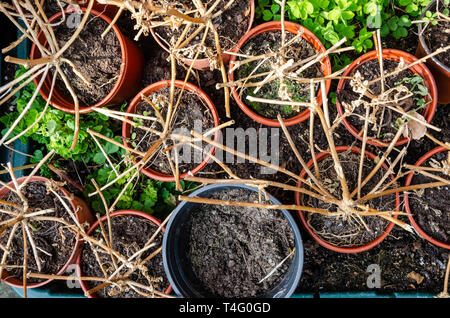 Plant pots in a back garden containing previous year's plants that have died and need emptying so that the pots can be reused. - Stock Image