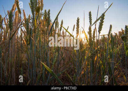 Late evening summer sun bursting through ripening ears of wheat, corn or barley in a field during the heatwave with a clear blue sky - Stock Image