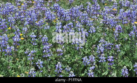 Goldfields, Lasthenia sp., Minature lupine, Lupinus bicolor,  Owl's clover, Castilleja sp.,  Cuyamaca Rancho State Park, CA 080518_30402 - Stock Image