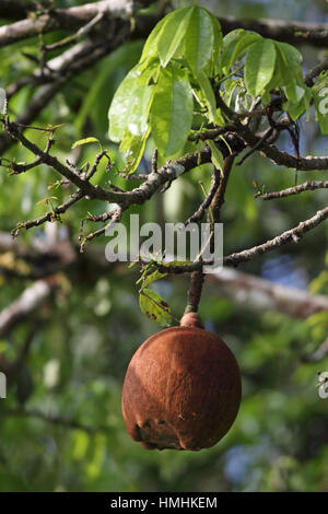 Guiana Chestnut tree (Pachira aquatica) in fruit next to natural rainforest canal. Tortuguero National Park, Costa - Stock Image
