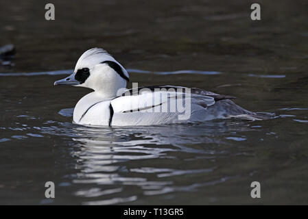A male Smew (Mergellus albellus) in breeding plumage swimming in a lake in Southern England - Stock Image