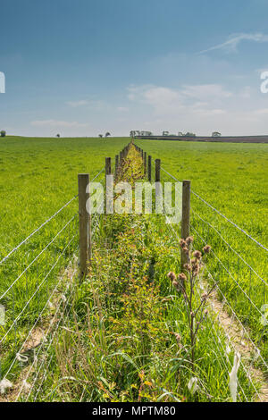 A new hawthorn hedge becoming established between two lines of protective wire fencing, with copy space - Stock Image
